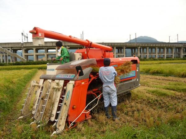 新米の稲刈り